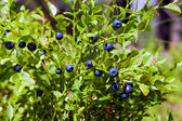 Bush of a ripe bilberry in the summer closeup — Stock Photo