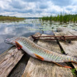 Raw, fresh fish (pike) on the background of the lake — Stock Photo