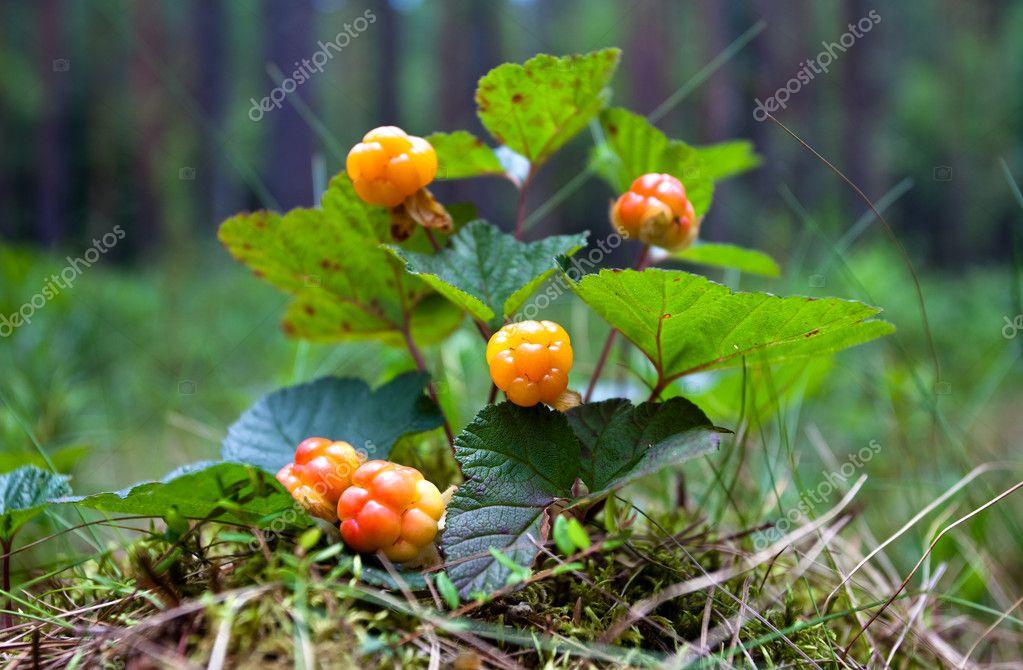 Cloudberry bush