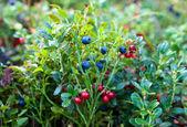 Wilde bessen op een groene vegetatieve achtergrond in hout — Stockfoto