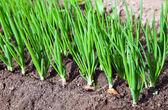 Onion plantation in the vegetable garden — Stock Photo