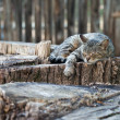 Foto de Stock  : Cat lying on old stump