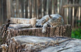 Cat lying on an old stump — Stock fotografie