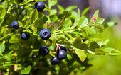 Bush of a ripe bilberry in the summer closeup — Stock Photo