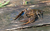 Alive crayfish — Stock Photo