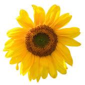 Gelbe sonnenblume isoliert auf weißem hintergrund — Stockfoto