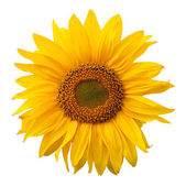 Yellow sunflower isolated on white background — Stock Photo