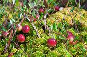 Wild cranberries growing in bog — Stock Photo