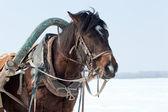 Emniyet kemeri ile kahverengi at başkanı. — Stok fotoğraf