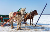 Two horses at the bank of a frozen river in Russia — Stock Photo