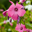 Pink flowers closeup in summer — Stock Photo #9835666