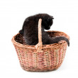 Little cute kitten in basket — Stock Photo