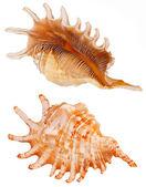 Seashell — Foto Stock