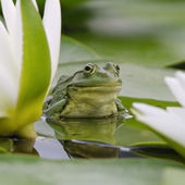 Marsh frog among white lilies — Stock Photo