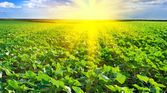 Sunset over the field of sunflowers — Stock Photo