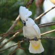 White parrot — Stock Photo