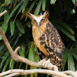 Eagle owl — Stock Photo #8926501