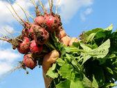 Hand with radishes — Stock Photo