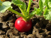 Radish growing — Stock Photo