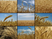 Wheat collection — Stock Photo
