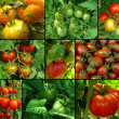 Stock Photo: Tomatoes set