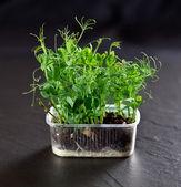 Gröna ärtor växt — Stockfoto
