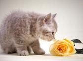 Yavru kedi ve sarı gül — Stok fotoğraf