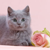 Kitten and pink rose — Stock Photo