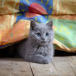 Kitten — Stock Photo #8629363