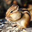 Stock Photo: Chipmunk.