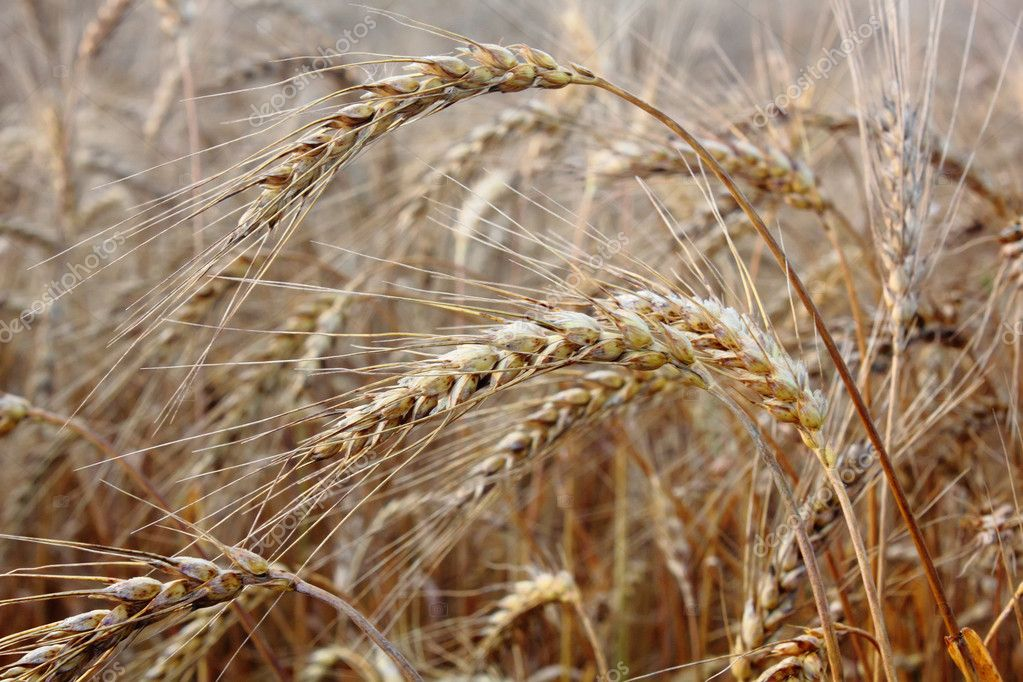 Ripe ears of wheat growing on a summer meadow.  — Stock Photo #8298055