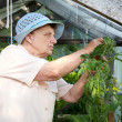 The old woman in a hothouse at bushes — Stockfoto