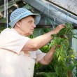 The old woman in a hothouse at bushes — Stock Photo