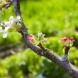 Apple tree flowers. Shallow depth of field — Stock Photo #10669697