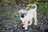 Puppy of the Spanish mastiff in square the autumn afternoon — Stock Photo