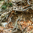 Stock Photo: Wood roots