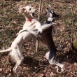Stock Photo: Dogs dance