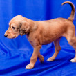 Saluki pup — Stock Photo #7970189