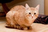 Ingefära tabby katt — Stockfoto