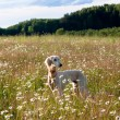 Saluki and flowers — Stockfoto #8110978