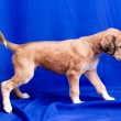 Saluki pup — Stock Photo #8291928