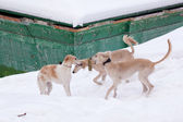 Hound pups in snow — Stock Photo