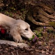 Stock Photo: White saluki