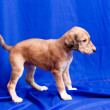 Saluki pup — Stock Photo
