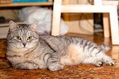 Crey gato tigrado — Fotografia Stock