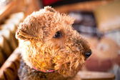 Airedale — Stock Photo