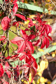 Feuilles rouges — Photo
