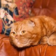 Scottish fold cat — Stock Photo #9727822