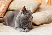 Crey kedi — Stok fotoğraf