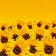 Stock Photo: Sunflower background with copyspace